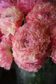 "Ranunculus 'Vigor Pi"" - flowers do my heart good. <3"