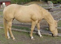 This AQHA mare is chestnut with two copies of the Pearl gene.  She superficially resembles a Palomino (cream dilution) or a Gold Champagne. But she is neither.