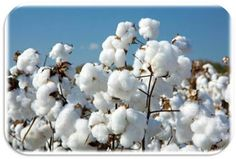 As the monsoon rainfall has strengthened, the Cotton corporation of India(CCI) has started selling cotton from its huge stock. - See more at: http://ways2capital-agritips.blogspot.in/2015/06/will-domestic-mills-in-india-benefit.html#sthash.qESNdA35.dpuf