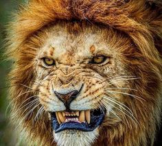 Pissed off Lion