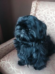 Black Shih Tzu Puppy. I had one, Madison, she looked just like this baby, such a beautiful baby. I miss her so. </3 ==> visit http://www.amazingdogtales.com/gifts-for-shih-tzu-lovers/