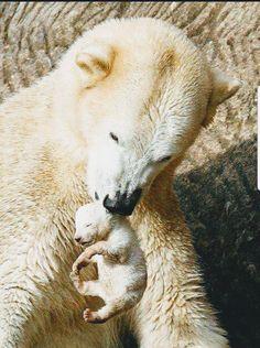 osos polares, polar bear mom and cub Cute Baby Animals, Animals And Pets, Funny Animals, Wild Animals, Newborn Animals, Beautiful Creatures, Animals Beautiful, Animals Amazing, Baby Polar Bears