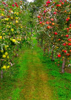 Photo about Apple orchard with red and green apples. Image of appletree, agriculture, tree - 2501909 Peach Orchard, Apple Orchard, Apple Farm, Veg Garden, Fruit Garden, Orange Farm, Organic Vegetable Seeds, Cottage Garden Design, Apple Harvest