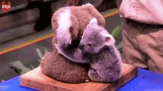 This real baby koala cuddling a fake koala. | The 24 Most Important Australian Animal Gifs Of All Time