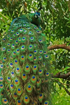 Peacock in tree.