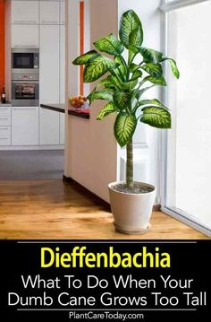 Dieffenbachia over time older specimens become leggy, develop bare stems and can become top heavy. When the Dumb Cane plant has a more tree-like form it makes the plant unattractive. Learn what to do when your Dieffenbachia gets too tall. Tall Indoor Plants, Hanging Plants, Indoor Trees, House Plants Decor, Plant Decor, House Tree Plants, Dieffenbachia Care, Dumb Cane Plant, Magic Garden