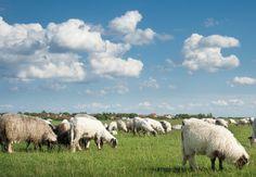 great_plains_sheep_blend.jpg (600×416)
