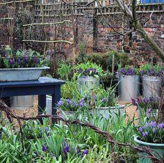 Spring flowering bulbs - emma bridgewater Cattle Trough, Raised Garden Beds, Raised Beds, Spring Flowering Bulbs, Small Tub, Cut Flower Garden, Emma Bridgewater, Growing Plants, Cut Flowers