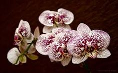 Image result for phalaenopsis orchid