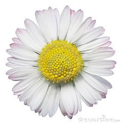 Macro view of blooming common daisy flower isolated on white background.