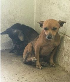 11/24/2015 'Deaf ears': Dog protects his deaf sibling at lonely Texas shelter. Please share to help these lonely bonded siblings.