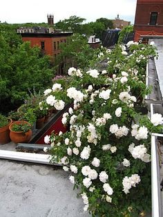 66 Square Feet: Roof garden roses