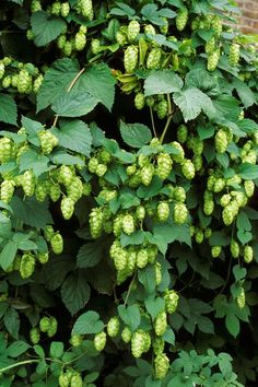 Fast Growing Flowering Vines Hops plans 16 Fast-Growing Vines to Add to Your Yard This Season Climbing Plants Fast Growing, Climbing Flowering Vines, Fast Growing Flowers, Fast Growing Vines, Climbing Flowers, Climbing Vines, Flowering Vine Plants, Planting Flowers, Backyard Vegetable Gardens