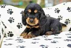 Black and tan cocker spaniel puppy!!