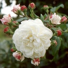 Белые Сады, Красивые Розы, Красивые Сады, Белые Цветы, Белые Розы, Искусство Устройства Садов, Розовые Деревья, Красивые Цветы