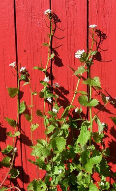 """Garlic Mustard (Jack-by-the-Hedge) is an edible wild plant that's as much at home in the hedgerow as it is in your garden. The green leaves are delicious on sandwiches or as part of a mixed salad."""