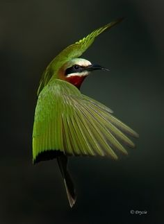 "fairy-wren:  ""white fronted bee eater  (photo by dryzie)"""