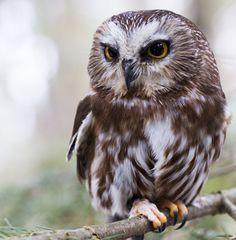 """""""Saw Whet Owl"""" by Clark Lloyd   500px"""