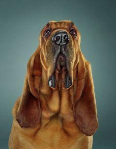 bloodhound, ook mooie hond!