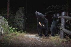 Asian black bear(Ursus thibetanus japonicus) ツキノワグマ by Gaku Miyazaki