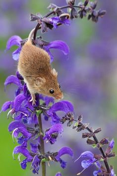 Photograph Harvest Mouse - Micromys minutus by Dennis Lorenz on 500px