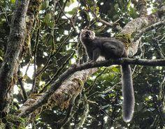 True lemurs, also known as brown lemurs, are the lemurs in genus Eulemur