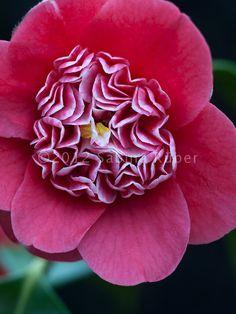 ~Camellia japonica 'Shikibu'