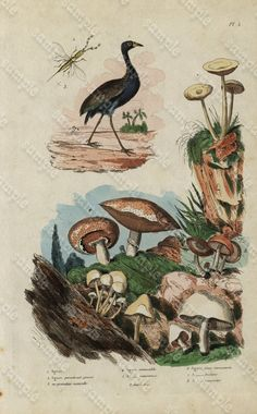 Antique Original  Natural History Hand Colored by Printvilla4you