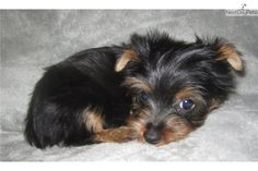 60 Best Terrys Yorkies Puppies Images Yorkie Puppy Yorkies For