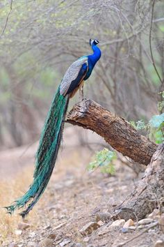 Peacock waiting for monsoon rains.