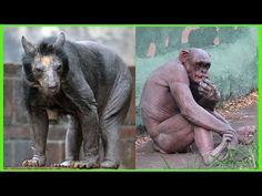 Top 10 Animals That Look Totally Different Without Their Hair - #YouTube #monkey #bear #animals