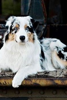 What Dog Breed Should You Get Based on Your Personality Type? INFJ: AUSTRALIAN SHEPHERD via @KaufmannsPuppy