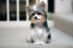 It's called a Biewer Yorkie... I just fell in love!!!! I want one!