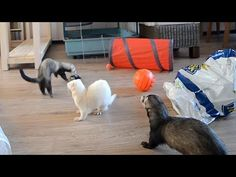 Three adorable ferrets, Teunje, Yuki and Spike, gleefully enjoy their play time in the living room with their tunnels, toys and a special remote-controlled car to chase. Their human explains about ...