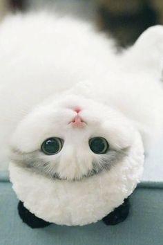Cats Wallpapers ✧ Toyger Cat, Birman Cat, Nyan Cat, Pusheen Cat, Chantilly Cat, Cat Party, Cat Wallpaper, Cat Food, Cats Of Instagram