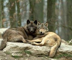 A Paradise for Wolves. Wolf hunters are forbidden on White Earth tribal lands or they will be prosecuted.