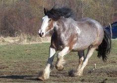 bay sabino draft horse
