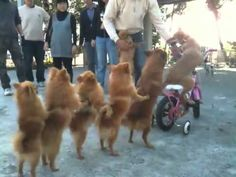 Pomeranian conga line.uhm that dog is peddling the bike. Funny Videos For Kids, Funny Dog Videos, Funny Dogs, Cute Dogs, Funny Animals, Cute Animals, Pet Videos, Funny Puppies, Animal Jokes