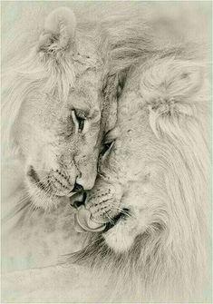 support me don't leave me alone - big cats - . support me don't leave me alone – big cats – -Il . support me don't leave me alone - big cats - . support me don't leave me alone – big cats – - Beautiful Creatures, Animals Beautiful, Animals And Pets, Cute Animals, Lion Family, Lion Love, Lion Pictures, Lion Art, Big Cats