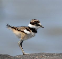 Baby Killdeer (Charadrius vociferus), only has 1 black ring around its neck; they develop a 2nd as adults.