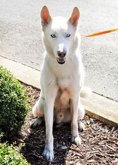 #Siberian #Husky X ALFREDO for #adoption #Gainesville, #Florida: http://hhrescue.com/ Alfredo would probably do best with a family that has Husky or large breed experience. Alfredo, like most huskies, has a lot of energy and would benefit from positive reinforcement training. Alfredo does well with other dogs, but would be best in a home without cats or small children.