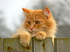 Ginger beauty. Usually male cats are gingers, it is a rarity for a female to come out ginger color