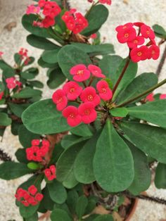25 Years of Nonstop Blooms -- Thank You, Crown Of Thorns Crown Of Thorns Plant, Pineapple Planting, Euphorbia Milii, Pineapple Top, Organic Compost, Garden Inspiration, Garden Ideas, Myrtle, Garden Planning