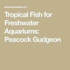 Tropical Fish for Freshwater Aquariums: Peacock Gudgeon