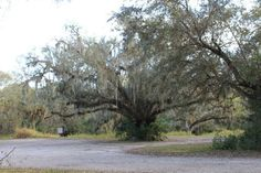 Large old oak tree at clay gully in Myakka river state park