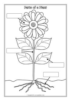 Parts of a Plant Labelling Worksheets - kids science Science Worksheets, Worksheets For Kids, Kindergarten Worksheets, Printable Worksheets, Parts Of A Flower, Parts Of A Plant, Plant Lessons, First Grade Reading Comprehension, First Grade Science