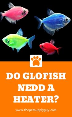 Does a GloFish Aquarium Need a Heater? 40 Gallon Aquarium, Aquarium Heater, Glass Aquarium, Tropical Aquarium, Aquarium Fish, Fish Care, Small Fish, Guppy, Aquariums