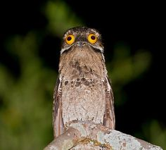 Aw the great potoo bird Weird Birds, Funny Birds, Great Potoo, Potoo Bird, Weird Creatures, Mundo Animal, Bird Pictures, Little Birds, Bird Watching