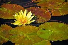 w water: Yellow-Blumen in Waterlily Pond w  Green Lily Pads im Bild der friedlichen japanischen Wassergarten