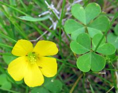 YELLOW WOOD SORREL—(Oxalis stricta). Photograph taken in Center Twp. Beaver County, PA.  May 26, 2014.